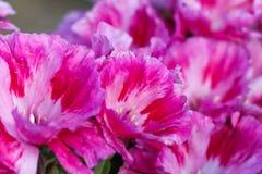 Μαλακά όμορφα ρόδινα λουλούδια εστίασης Στοκ Εικόνες