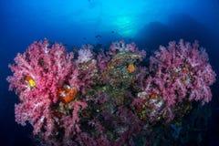 Μαλακή αποικία κοραλλιών στην ακτίνα ήλιων υποβάθρου βράχου, Similan islan στοκ φωτογραφίες με δικαίωμα ελεύθερης χρήσης