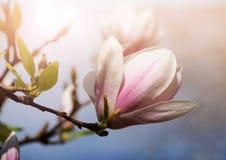 Μαλακή εικόνα εστίασης των λουλουδιών magnolia κάτω από το φως ήλιων Υπόβαθρο εποχής άνοιξης Στοκ Εικόνες