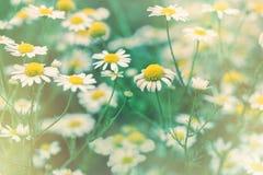 Μαλακή εστίαση στο λουλούδι μαργαριτών - άγριος chamomile αναμμένος από το φως του ήλιου Στοκ Εικόνες