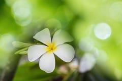 Μαλακή θαμπάδα Plumeria Στοκ εικόνες με δικαίωμα ελεύθερης χρήσης
