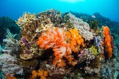 Μαλακή πυράκτωση κοραλλιών Στοκ Φωτογραφία