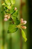 Μαλακοί ρόδινοι οφθαλμοί ανθών μήλων στο πράσινο φυσικό υπόβαθρο Στοκ Φωτογραφία