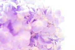 Μαλακός και γλυκός εκλεκτής ποιότητας τόνος λουλουδιών Hydrangea στοκ εικόνα με δικαίωμα ελεύθερης χρήσης