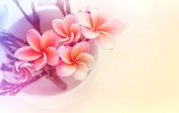 (Μαλακός τρύγος) ρόδινο frangrant plumeria ή frangipani λουλουδιών μέσα Στοκ Εικόνες