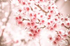 Μαλακό άνθος κερασιών εστίασης ή λουλούδι Sakura Στοκ Εικόνα