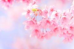 Μαλακό άνθος κερασιών εστίασης ή λουλούδι Sakura Στοκ Εικόνες
