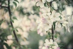 Μαλακό εκλεκτής ποιότητας ανθίζοντας δέντρο της Apple Στοκ φωτογραφία με δικαίωμα ελεύθερης χρήσης