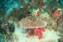Μαλακό κοράλλι δέντρων κάτω από το επιτραπέζιο κοράλλι Στοκ εικόνες με δικαίωμα ελεύθερης χρήσης