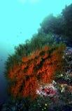 Μαλακό κοράλλι, νησί Sipadan, Sabah Στοκ Εικόνα