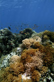Μαλακό κοράλλι, νησί Sipadan, Sabah Στοκ Φωτογραφία