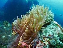 Μαλακό κοράλλι Στοκ Φωτογραφία