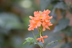 Μαλακό λουλούδι θαμπάδων Στοκ φωτογραφία με δικαίωμα ελεύθερης χρήσης