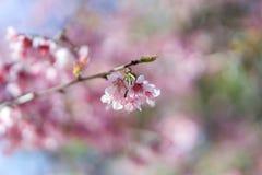 Μαλακό λουλούδι κερασιών Himalayan εστίασης άγριο Στοκ φωτογραφία με δικαίωμα ελεύθερης χρήσης