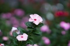 Μαλακό ρόδινο λουλούδι με το υπόβαθρο θαμπάδων Στοκ εικόνες με δικαίωμα ελεύθερης χρήσης