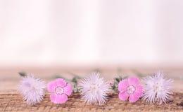 Μαλακό υπόβαθρο με άγριο Dianthus στοκ φωτογραφία με δικαίωμα ελεύθερης χρήσης