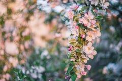 Μαλακό υπόβαθρο με το δέντρο Bloomng Apple Στοκ φωτογραφία με δικαίωμα ελεύθερης χρήσης