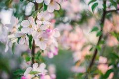 Μαλακό υπόβαθρο με το δέντρο Bloomng Apple Στοκ Εικόνα