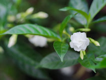 Μαλακό Gardenia στον κήπο Στοκ φωτογραφία με δικαίωμα ελεύθερης χρήσης