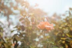 Μαλακό Rose Garden Στοκ εικόνα με δικαίωμα ελεύθερης χρήσης