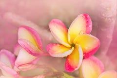 (Μαλακό vintagSweet και ρομαντική ονειροπόλος δέσμη χρώματος ρόδινου fran Στοκ φωτογραφίες με δικαίωμα ελεύθερης χρήσης
