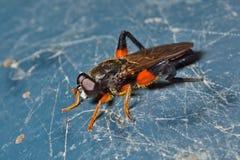 Μαλλιαρή μύγα 15 Στοκ Εικόνες