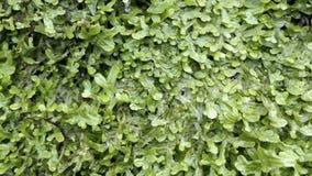 Μείωση νερού σε έναν τοίχο με την αύξηση φτερών spleenwort απόθεμα βίντεο