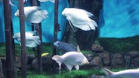 Μεγάλα άσπρα ψάρια με τα μεγάλα πτερύγια στο ενυδρείο απόθεμα βίντεο
