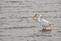 Μεγάλα άσπρα ψάρια συλλήψεων τσικνιάδων στον κόλπο στην ανατολή Στοκ Εικόνες