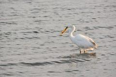 Μεγάλα άσπρα ψάρια συλλήψεων τσικνιάδων στον κόλπο στην ανατολή Στοκ φωτογραφίες με δικαίωμα ελεύθερης χρήσης