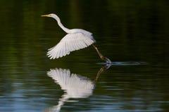 Μεγάλα άσπρα alba φτερά egretta τσικνιάδων, πόδια στο νερό, ST Στοκ Φωτογραφίες