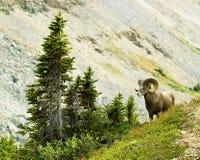 μεγάλα αρσενικά πρόβατα κέ&r Στοκ Φωτογραφία