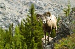 μεγάλα αρσενικά πρόβατα κέ&r Στοκ φωτογραφία με δικαίωμα ελεύθερης χρήσης
