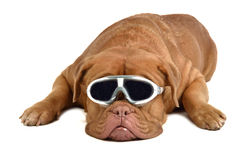 μεγάλα γυαλιά σκυλιών Στοκ εικόνα με δικαίωμα ελεύθερης χρήσης