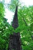 μεγάλα δέντρα οξιών Στοκ Εικόνα