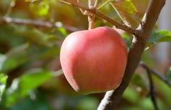 Μεγάλα κόκκινα φρούτα μήλων σε έναν κλάδο σε έναν οπωρώνα μήλων να αναπτύξει καρπού Στοκ εικόνες με δικαίωμα ελεύθερης χρήσης