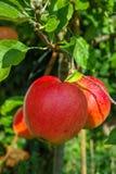 Μεγάλα κόκκινα ώριμα μήλα στο δέντρο μηλιάς, φρέσκια συγκομιδή του κόκκινου appl Στοκ Εικόνες