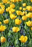 Μεγάλα λουλούδια των κίτρινων τουλιπών και μικρά λουλούδια Myosostis Στοκ Φωτογραφίες