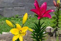 Μεγάλα λουλούδια των κόκκινων και κίτρινων κρίνων στον κήπο στοκ φωτογραφία