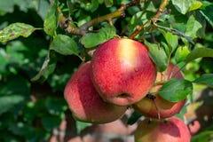 Μεγάλα μήλα braeburn που στο δέντρο μηλιάς στοκ φωτογραφία με δικαίωμα ελεύθερης χρήσης
