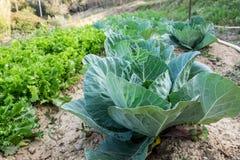 μεγάλα πράσινα επικεφαλής λαχανικά λάχανων Στοκ εικόνα με δικαίωμα ελεύθερης χρήσης