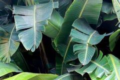 Μεγάλα πράσινα φύλλα στο δέντρο μπανανών στοκ φωτογραφία