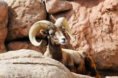 μεγάλα πρόβατα κέρατων ερήμ& Στοκ φωτογραφία με δικαίωμα ελεύθερης χρήσης