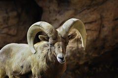 μεγάλα πρόβατα κέρατων ερήμ& Στοκ φωτογραφίες με δικαίωμα ελεύθερης χρήσης