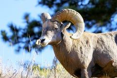 μεγάλα πρόβατα κέρατων Στοκ Φωτογραφία