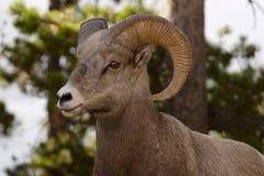 μεγάλα πρόβατα κέρατων Στοκ Εικόνες