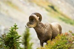 μεγάλα πρόβατα κριού κέρατ&om Στοκ εικόνες με δικαίωμα ελεύθερης χρήσης