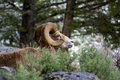 μεγάλα πρόβατα ovis κέρατων canadensis Στοκ Εικόνες