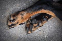 Μεγάλα πόδια σκυλιών Στοκ εικόνα με δικαίωμα ελεύθερης χρήσης