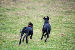 Μεγάλα σκυλιά Δανών στοκ φωτογραφία με δικαίωμα ελεύθερης χρήσης